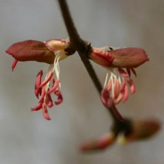 Male katsura flower with pink-white petals and dangling stamens
