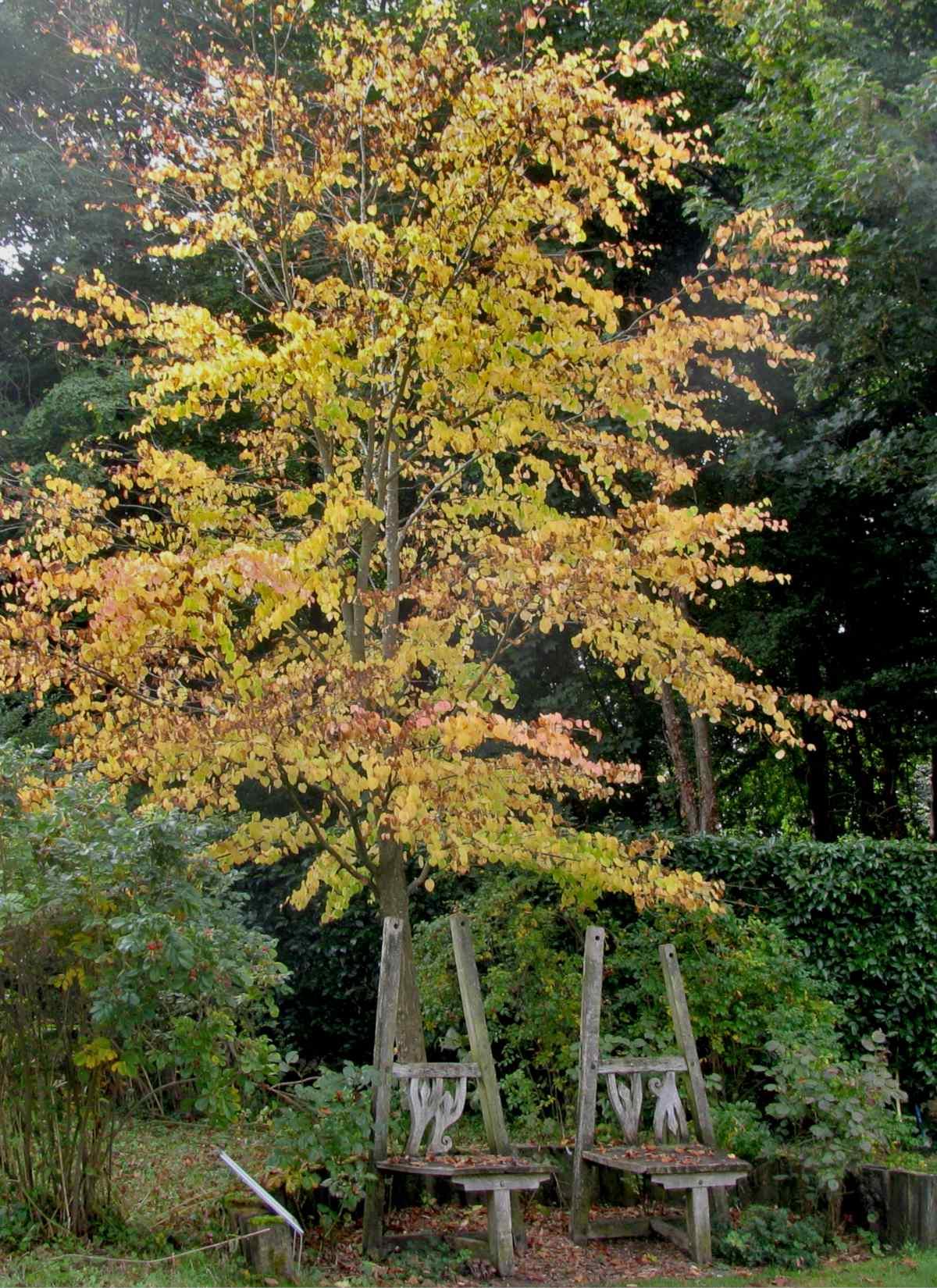Planting a katsura tree – tips and tricks to make sure it thrives!