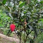 Crinodendron heath plant with a single flower