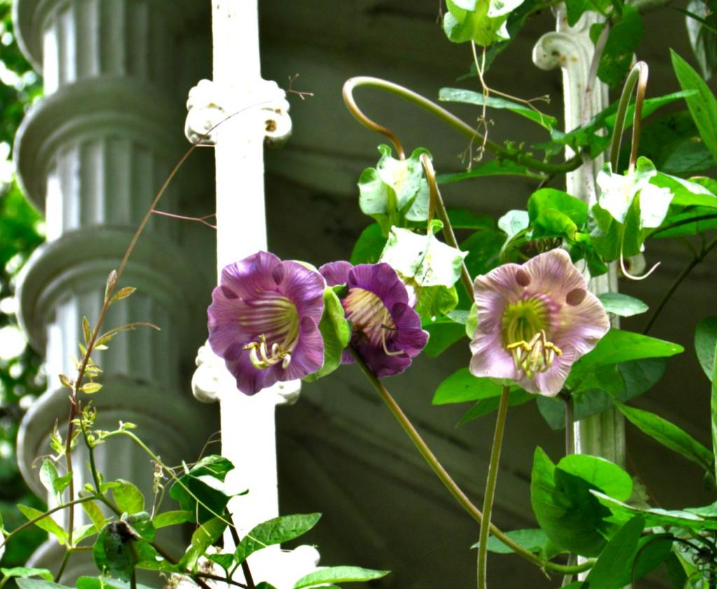 Cobea scandens vine twirling around elegant columns and wrought iron.