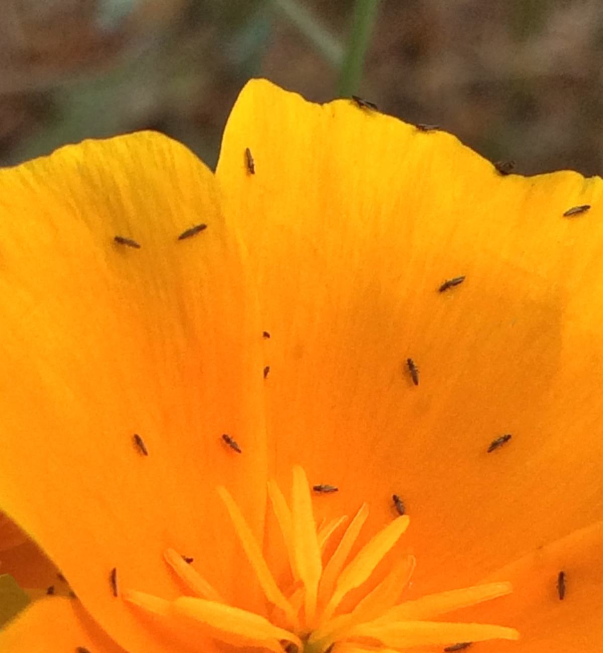 Thrips on a bright orange yellow flower