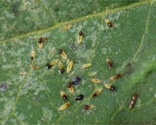 These banana silvering thrips are definitely among the pest-type thrips.
