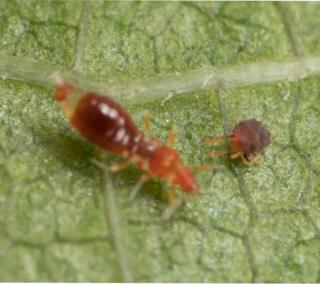 The nymph instar of a wasp-like thrips is among the predator types, as here where it is attacking a red spider mite.
