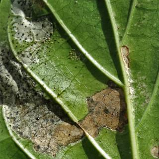 Leaf damage due to thrips with sunken, silver-white patches