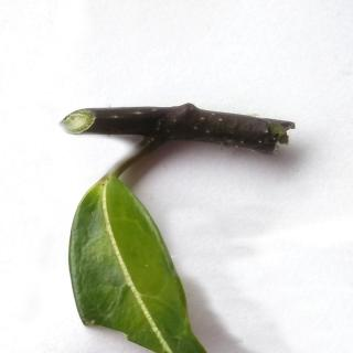 White dots on stem of a stephanotis plant shows where eggs were lain.