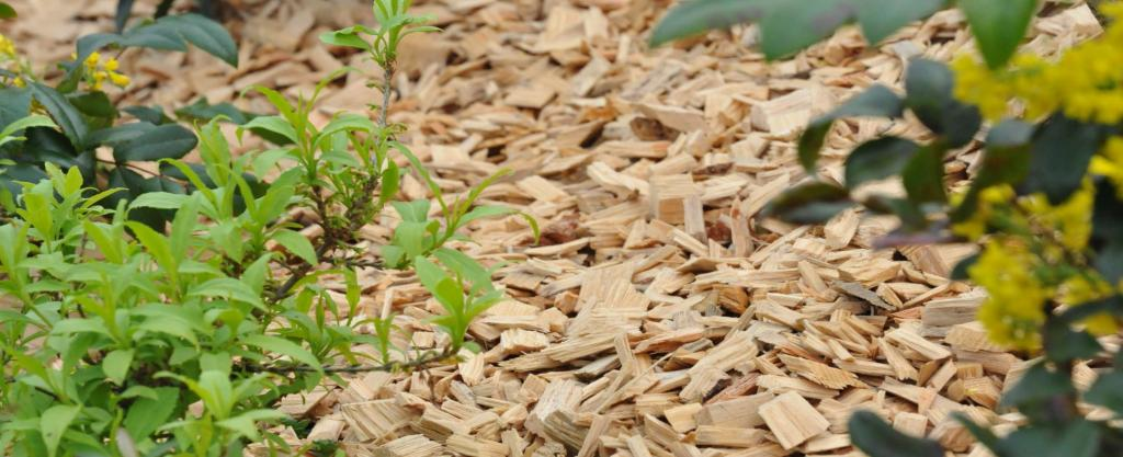Wood chip mulch with plumbago and mahonia