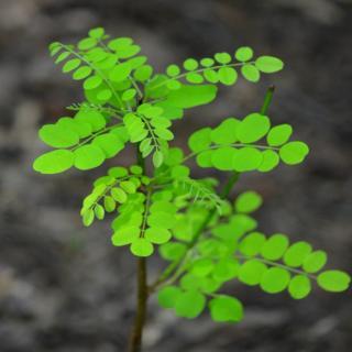 Young acacia umbraculifera