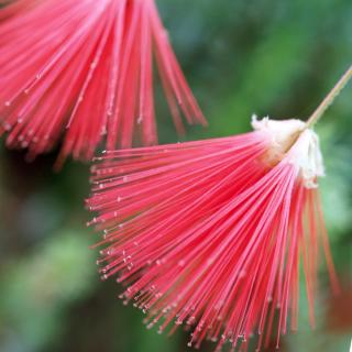 Red albizia acacia flowers