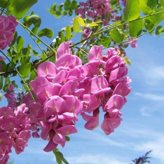 Pink-flowering black locust acacia tree