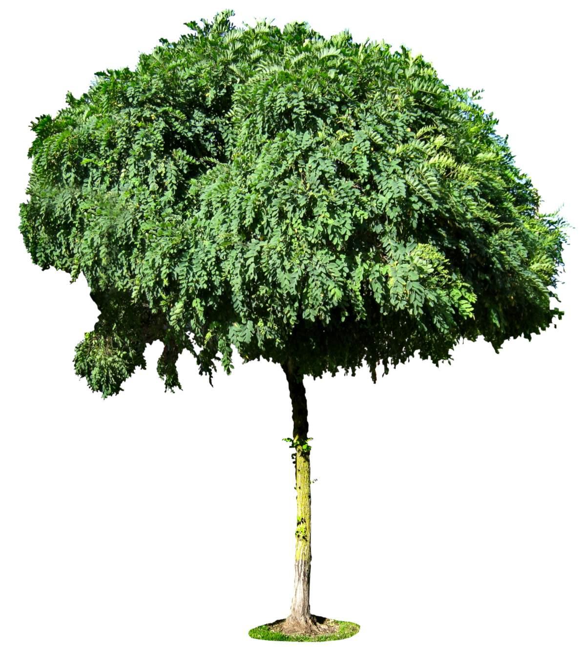 Delineated mophead acacia tree