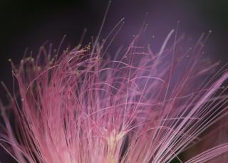 Soft thin stamens of the silk tree flower