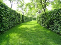 hornbeam hedge to each side of a lawn