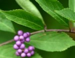 Callicarpa, the candy tree