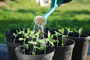 tomato-seeds-nursery-pot
