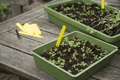 Sowing in trays, crates or boxes