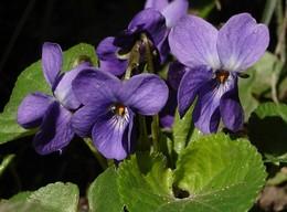 violette fleur