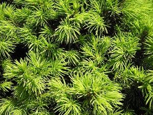 Juniperus, a superb conifer
