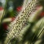 herbe-aux-ecouvillons