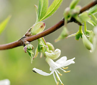 Lonicera purpusii, Winter Beauty honeysuckle