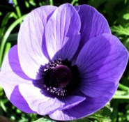 Pasqueflower, a celebration of Easter