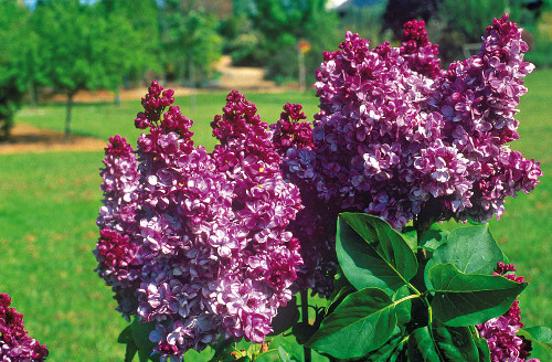 Lilac for fragrant bouquets