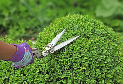 Pruning boxwood, know it all