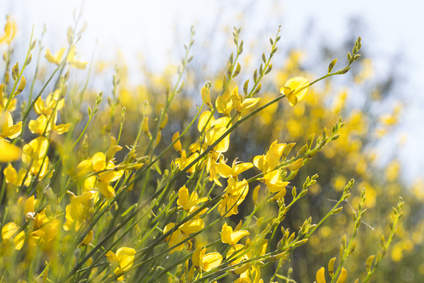 French broom, a superb flower shrub
