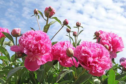 Herbaceous peonies, oriental beauties