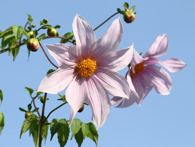 Dahlia imperialis, a marvel in fall