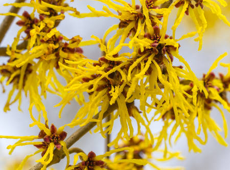 Witch Hazel The Tree With Golden Stars