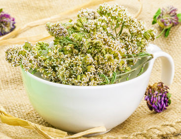 Yarrow health benefits and therapeutic value