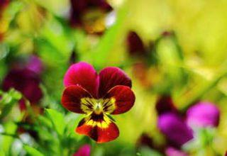 pensee fleur