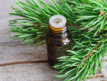 Pine tree health benefits and therapeutic value