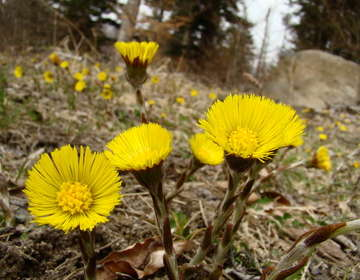 Coltsfoot health benefits and therapeutic value