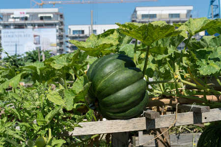 Incredible edible, new urban vegetable patches