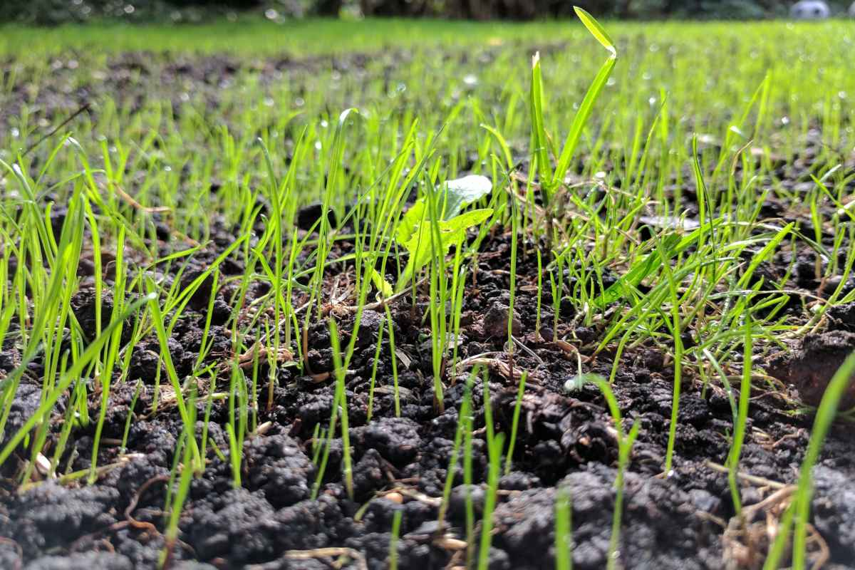 Sowing a lawn from seed