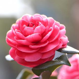 Pink open camellia flower with a few deep green leaves.