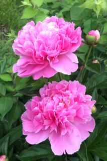 Two pink peony flowers in a garden