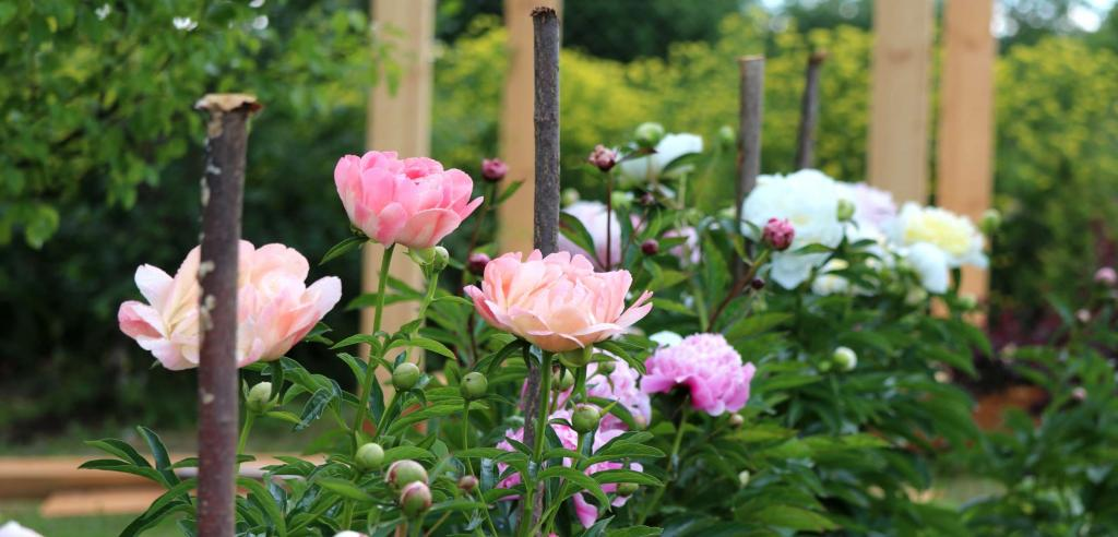 Staked peony flowers will resist wind.