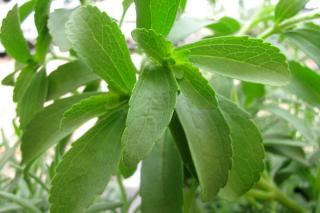 Planting, growing and care for stevia