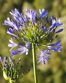 Agapanthus flower, also called Lily of the Nile, in a blue hue.