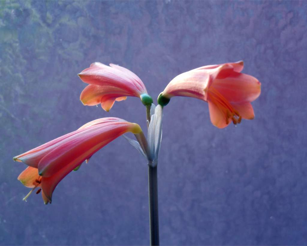Three amaryllis blooms against a cloud-like blue background.