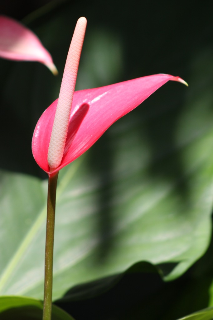 Pink anthurium flower looking elegant and slender.