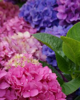 Hydrangea flowers: pink in the foreground to blue and violet in the background.