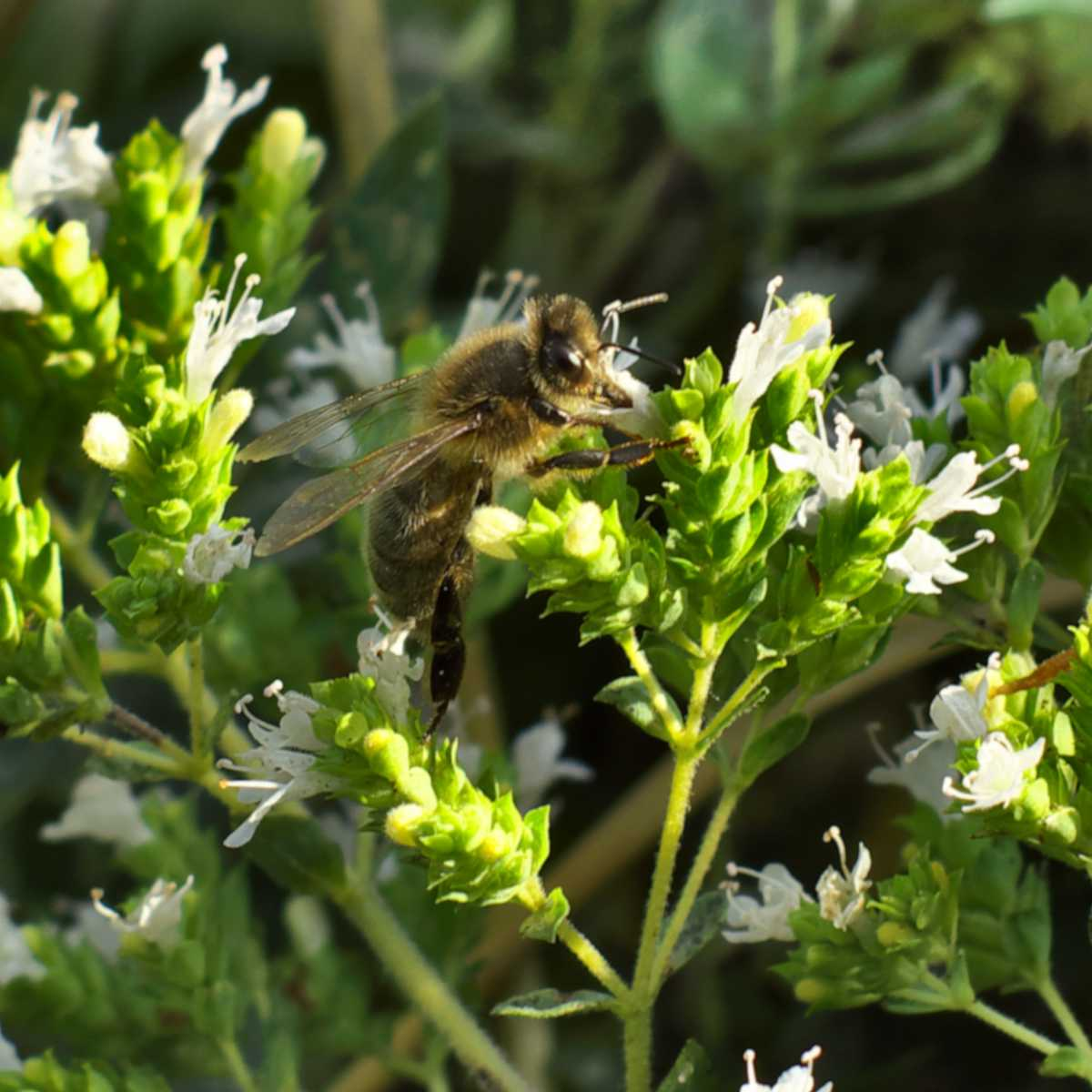 Marjoram flowers with a bee