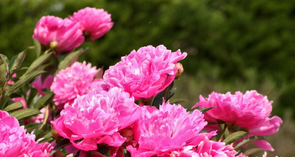 Herbaceous peony with pink blossoms in a garden bed
