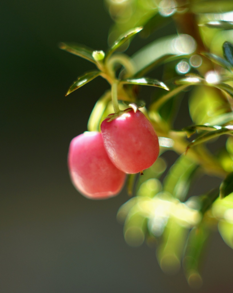 Two pernettya berries on a branch