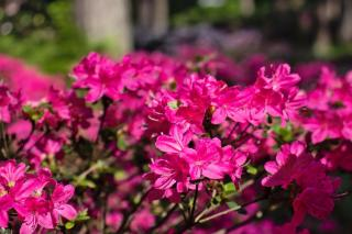 Planting rhododendron