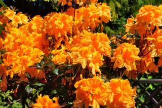 Rhododendron varieties and diseases