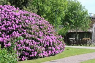 Landscaping with rhododendron